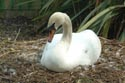 Image Ref: 01-19-17 - Swan, Viewed 8145 times