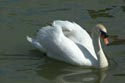 Image Ref: 01-19-3 - Swan, Viewed 11566 times