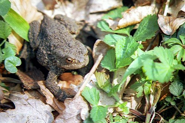 Picture of Toad - Free Pictures - FreeFoto.com