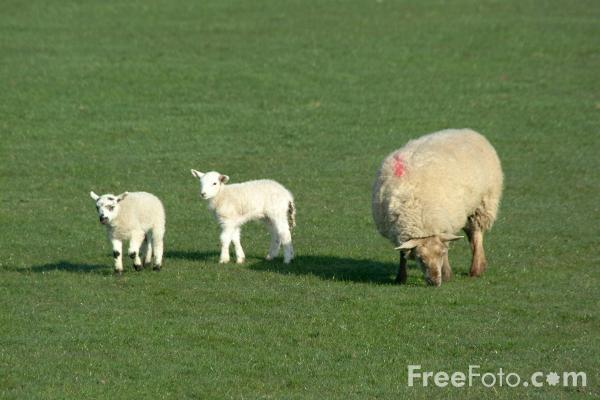 Picture of Lambs and Sheep - Free Pictures - FreeFoto.com