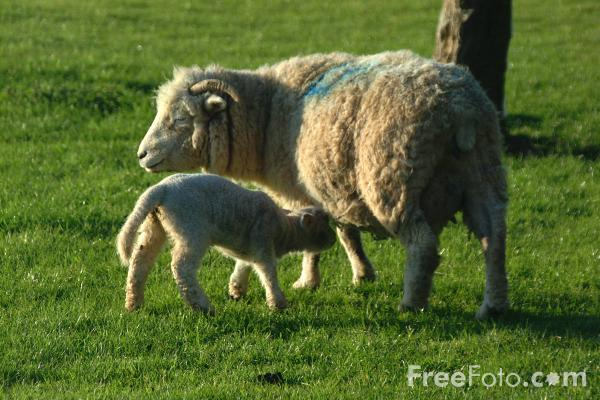 Picture of Lamb and Sheep - Free Pictures - FreeFoto.com