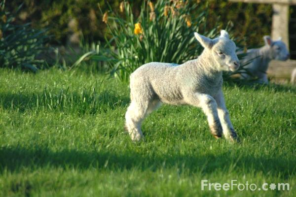 Picture of Lamb - Free Pictures - FreeFoto.com