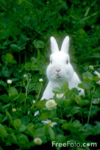 Picture of Rabbit - Free Pictures - FreeFoto.com