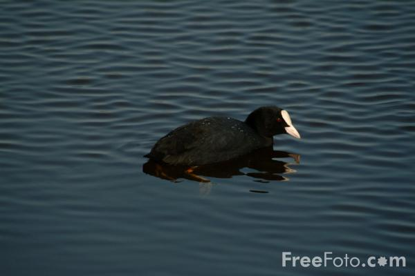 Picture of Coot - Free Pictures - FreeFoto.com