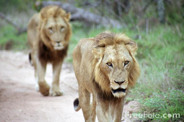 Picture of Lions - Free Pictures - FreeFoto.com