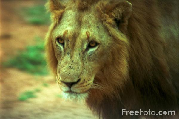 Picture of Lion - Free Pictures - FreeFoto.com