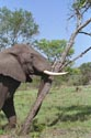 Image Ref: 01-29-54 - Elephant, Viewed 26862 times