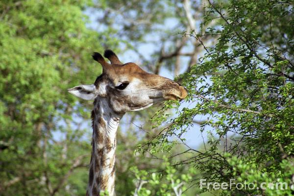 Picture of Giraffe - Free Pictures - FreeFoto.com