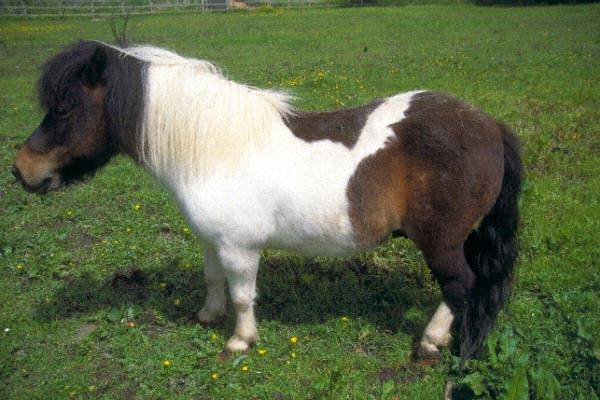 Picture of Shetland Pony - Free Pictures - FreeFoto.com