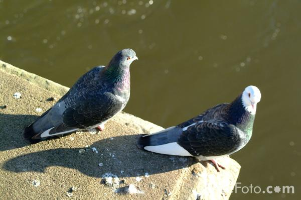 Picture of Pigeons - Free Pictures - FreeFoto.com