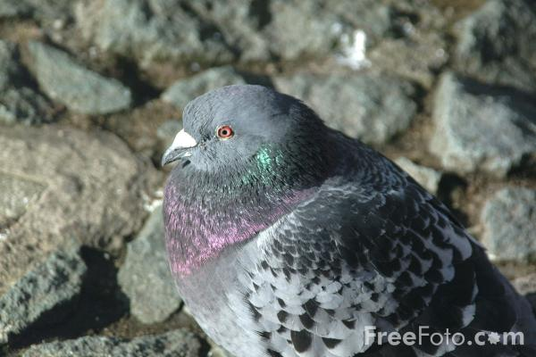 Picture of Pigeon - Free Pictures - FreeFoto.com