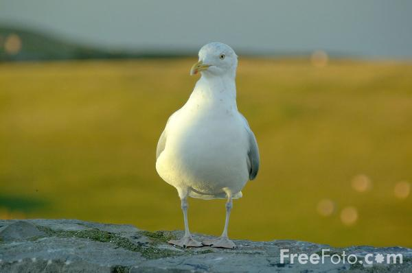 Picture of Seagull - Free Pictures - FreeFoto.com