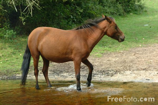 Picture of New Forest Pony - Free Pictures - FreeFoto.com