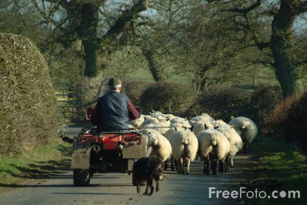 Picture of Farmer herding a flock of Sheep - Free Pictures - FreeFoto.com