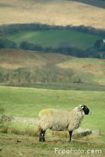 Picture of Sheep, Wensleydale, Yorkshire - Free Pictures - FreeFoto.com