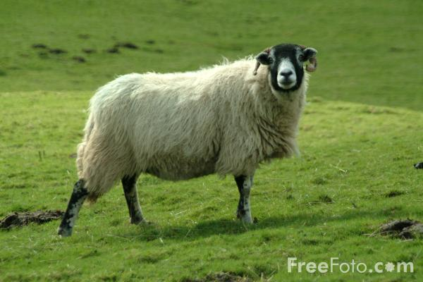 Picture of Sheep, Yorkshire Dales - Free Pictures - FreeFoto.com