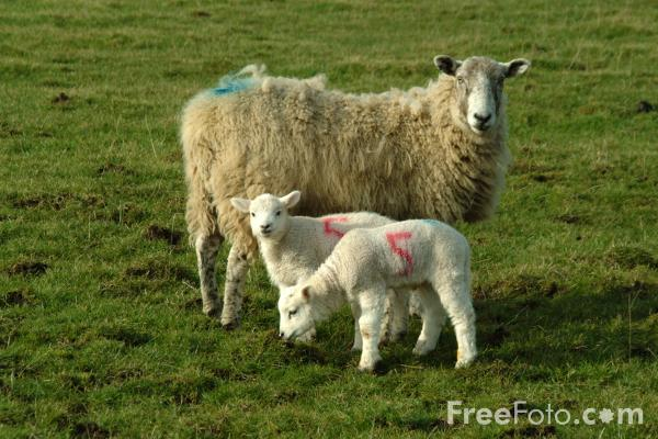 Picture of New Born Lambs, Ingoe, Northumberland - Free Pictures - FreeFoto.com