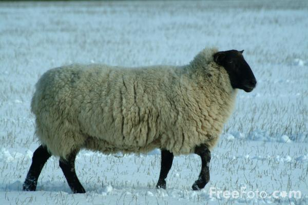 Picture of Sheep in the snow, Northumberland - Free Pictures - FreeFoto.com