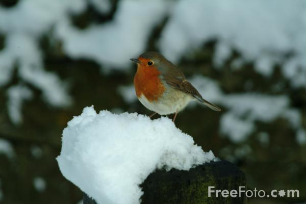 Picture of Robin in the snow - Free Pictures - FreeFoto.com