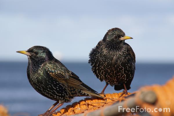 Picture of Starlings - Free Pictures - FreeFoto.com