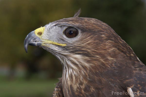 Picture of Common Buzzard - Free Pictures - FreeFoto.com