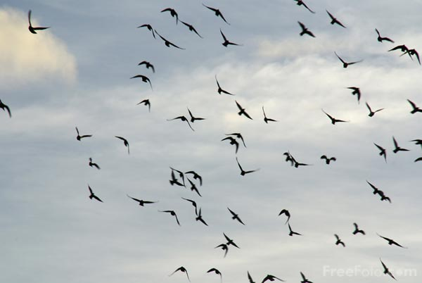 Picture of Flock of Birds - Free Pictures - FreeFoto.com