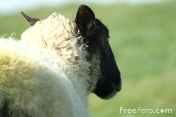 Picture of Sheep, Northumberland - Free Pictures - FreeFoto.com