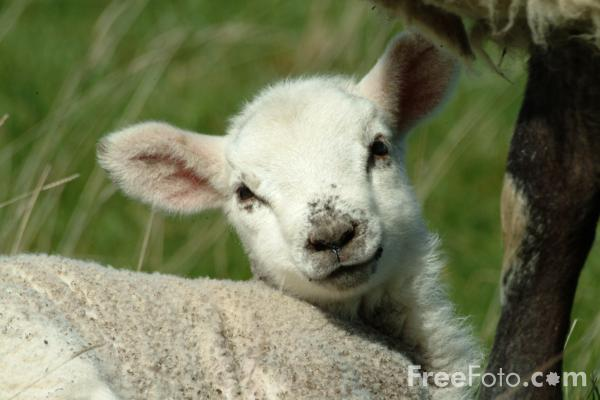 Picture of Lamb, Northumberland - Free Pictures - FreeFoto.com