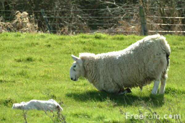 Picture of Sheep and Lamb, Northumberland - Free Pictures - FreeFoto.com
