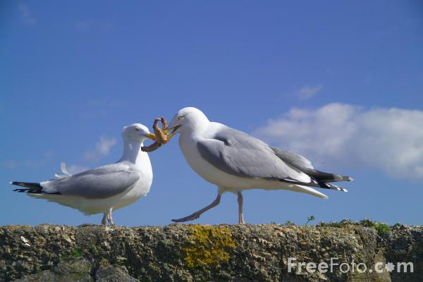 Picture of Seagull eating a starfish - Free Pictures - FreeFoto.com