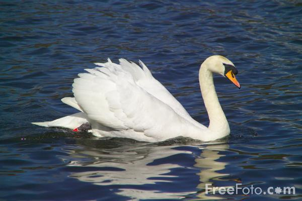 Picture of Swans - Free Pictures - FreeFoto.com