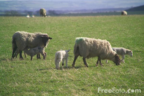 Picture of Lambs - Free Pictures - FreeFoto.com