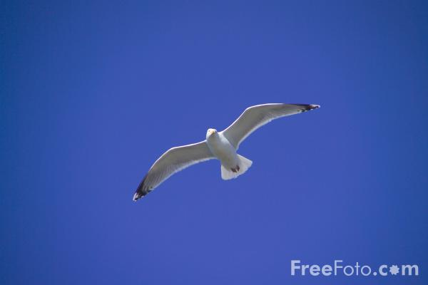 Picture of Sea Bird - Free Pictures - FreeFoto.com