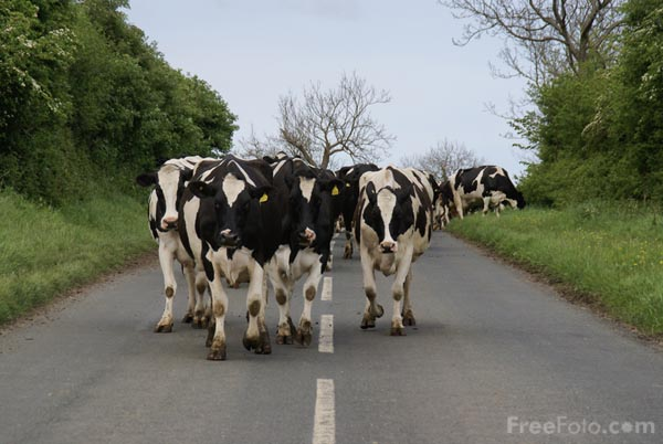 Picture of Cattle going to be milked - Free Pictures - FreeFoto.com