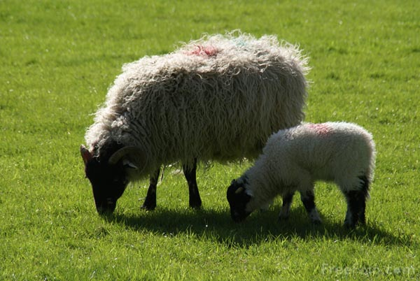 Picture of Sheep and Lambs - Free Pictures - FreeFoto.com