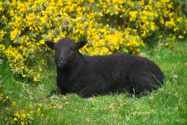 Picture of Black Sheep - Free Pictures - FreeFoto.com
