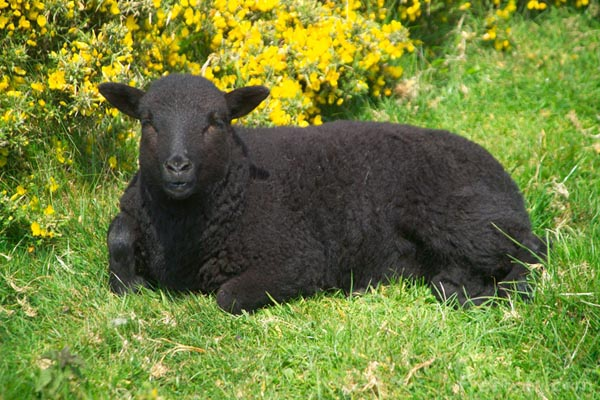 picture of a black sheep