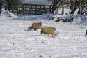 Image Ref: 01-62-30 - Sheep and Lambs in the snow, Viewed 6319 times
