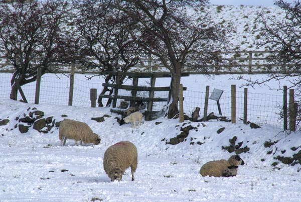 Picture of Sheep and Lambs in the snow - Free Pictures - FreeFoto.com