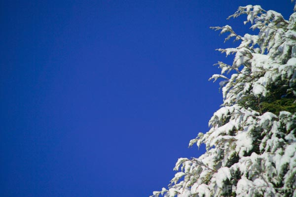 Picture of Snow covered tree with blue sky - Free Pictures - FreeFoto.com