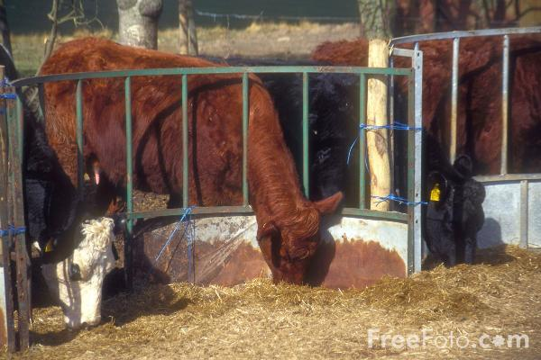Picture of Cattle - Feeding Time - Free Pictures - FreeFoto.com
