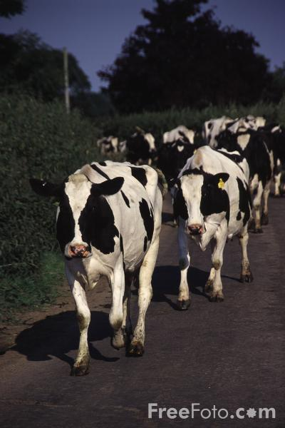 Picture of Herd of cattle - Free Pictures - FreeFoto.com