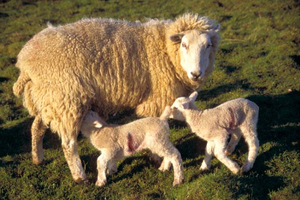 Picture of Very young lambs - Free Pictures - FreeFoto.com