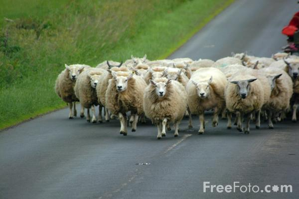 Picture of Flock of Sheep - Free Pictures - FreeFoto.com