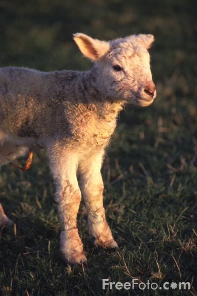 Picture of Day old lamb - Free Pictures - FreeFoto.com