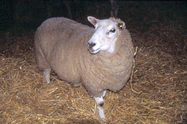 Picture of Pregnant Ewe - Free Pictures - FreeFoto.com