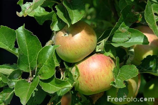 Picture of Apples - Free Pictures - FreeFoto.com