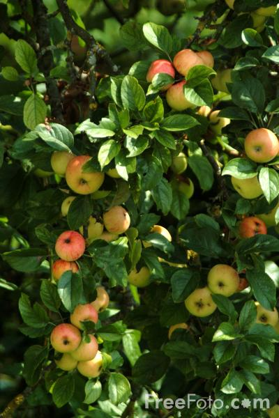 Apples pictures free use image 07 13 52 by - Planting fruit trees in autumn ...