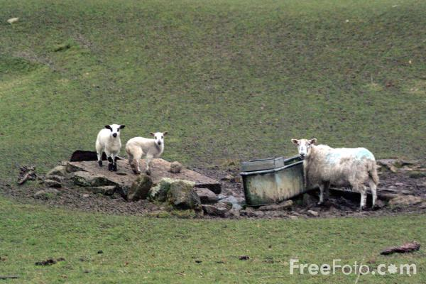 Picture of New Born Lambs, 25th March 2001, near Stamfordham, Northumberland - Free Pictures - FreeFoto.com