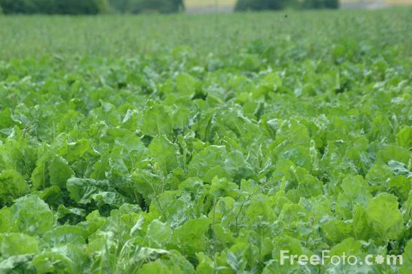 Picture of Sugar Beet - Free Pictures - FreeFoto.com